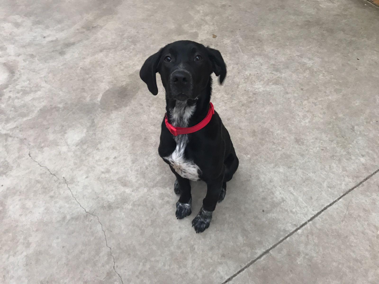 Cachorros Perros Perros en Adopción Perros necesitan acogida  Spock en adopción